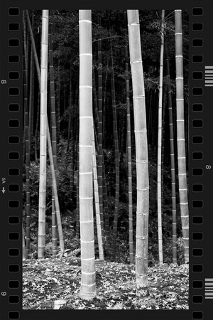 Bamboo Forest in B&W